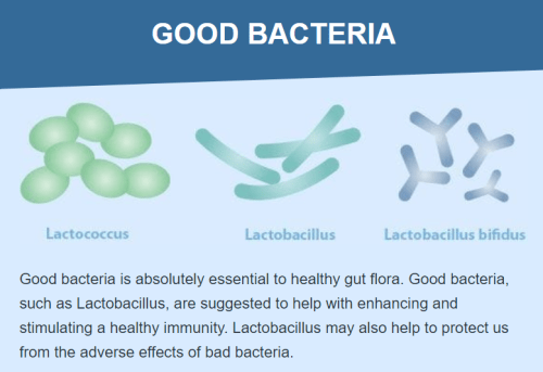 Good bacteria is absolutely essential to healthy gut flora. Good bacteria, such as Lactobacillus, are suggested to help with enhancing and stimulating a healthy immunity. Lactobacillus may also help to protect us from the adverse effects of bad bacteria.