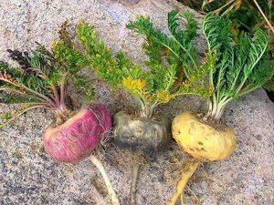 maca root varieties side effects