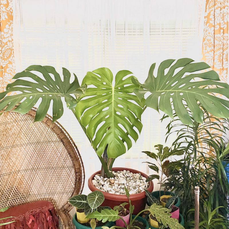 Monstera deliciosa Price Philippines