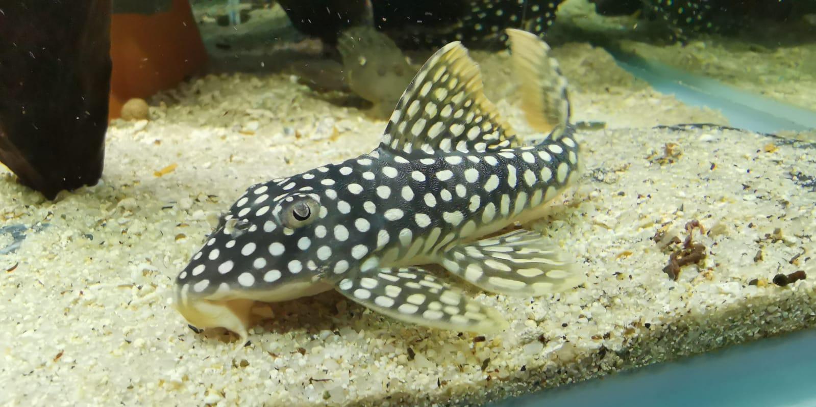 淺談琵琶魚種類 – 琵琶行