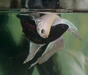 Briga de  peixes beta