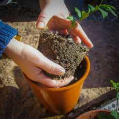 Teplantor omplantering-2