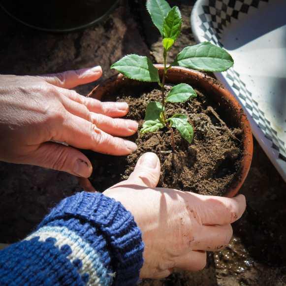 Teplantor omplantering-3