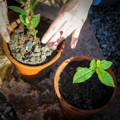 Teplantor omplantering-4