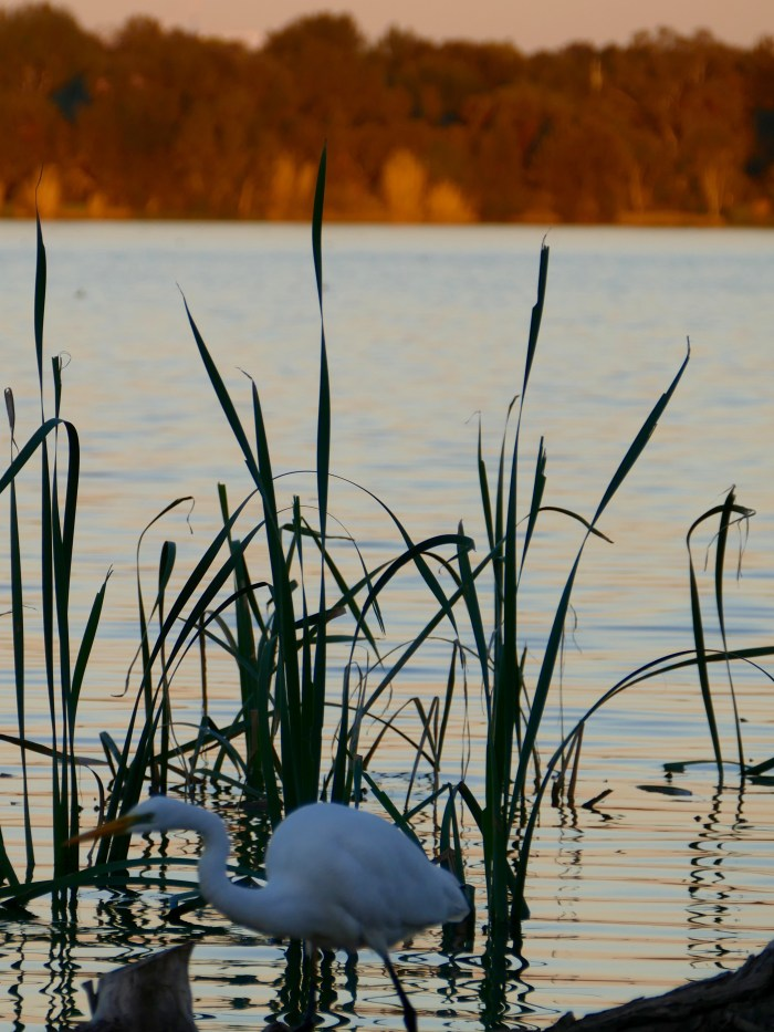 Egret, Lake Monger's western shore, late afternoon in winter.