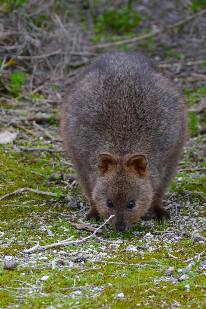 This quokka has an uncommonly healthy pelt. All photos copyright Doug Spencer.