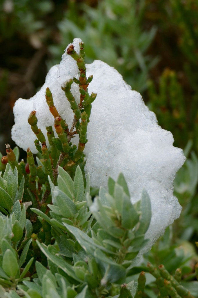 Samphire, embraced by entirely natural foam.