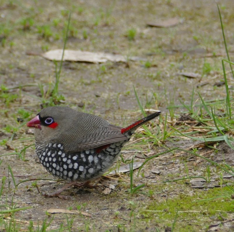 Red-eared firetail finch, near Torbay. Copyright Doug Spencer.