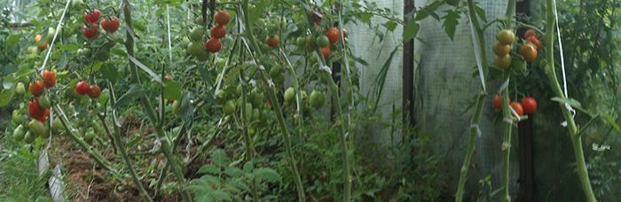 Pomidorai šiltnamyje