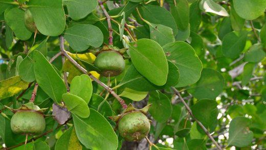 klasifikasi tanaman pidada