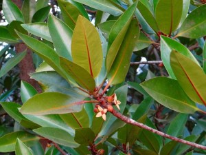 Klasifikasi Rhizophora apiculata