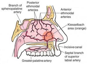 Nasal blood supply