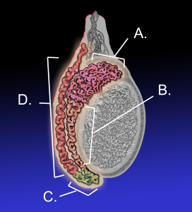 From wikipedia A. Head of epididymis, B. Body of epididymis, C. Tail of epididymis, and D. Vas deferens