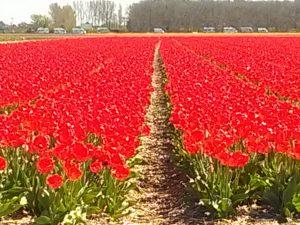 TulpenRondje