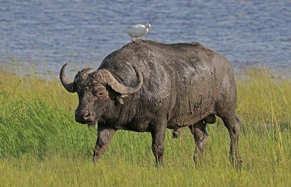 Penfam Tours and Safaris | African Buffalo - Penfam Tours