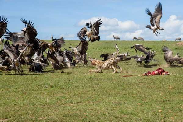 Cheetah claiming his meal - Masai Mara Safaris