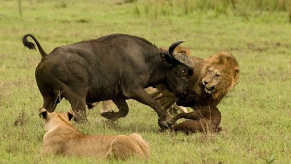 Kenya Safaris and Tours | Masai Mara Mother buffalo protecting her cub from lions