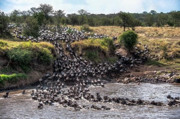 Masai Mara the wildebeest migration at mara-river