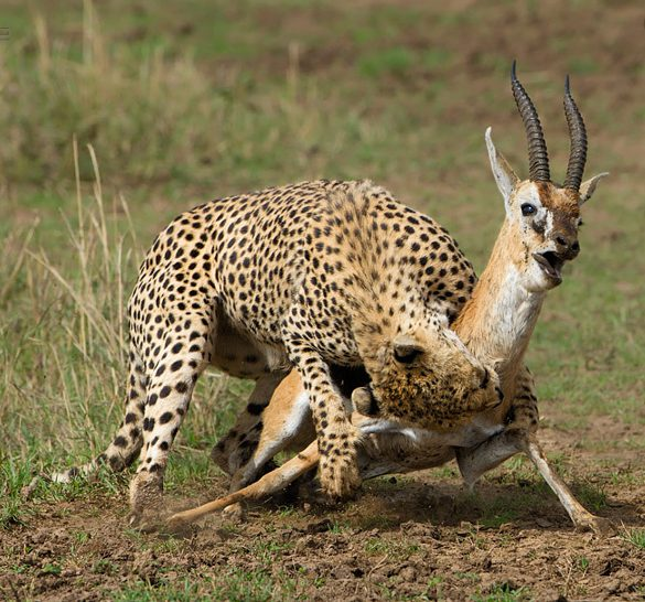 Masai Mara Safari - Best Cheetah Kill in action