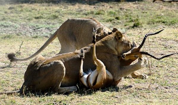 Masai Mara Lions in action Kenya Safaris