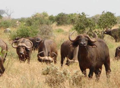 Tsavo National Park Buffalos