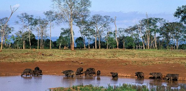 Buffalos at Aberdare Drinking Point