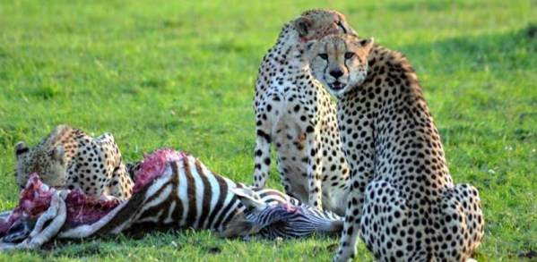 Cheetahs having a break at Amboseli National Park