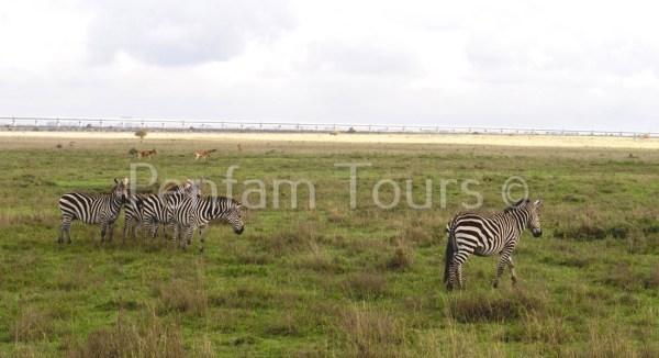Nairobi National Park zebras