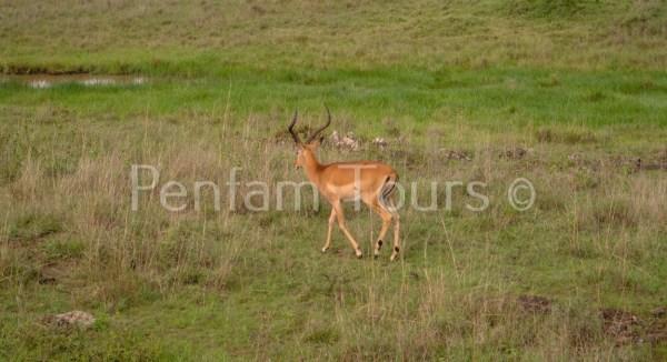 Male Antelopes