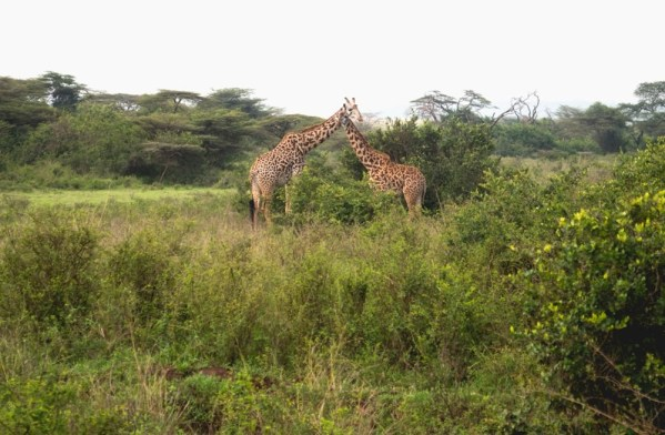 Penfam Tours and Safari 4x4 Kenya Safari Landcruiser Nairobi National Park Giraffes
