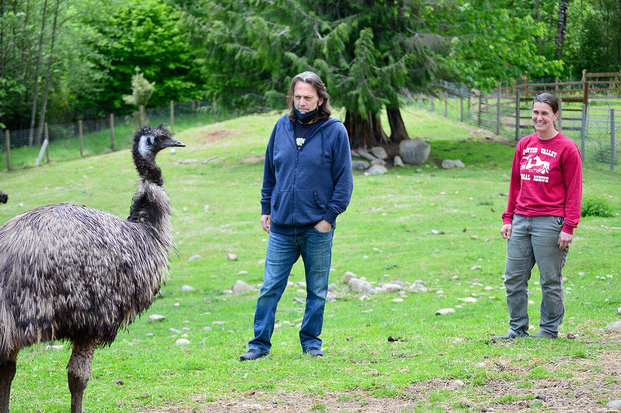 Dosewallips the emu is among the 125 residents at Center Valley Animal Rescue in Quilcene, where fundraising director Marshall Gooch and board director Sara Penhallegon will host an auction and celebration online Saturday evening. (Diane Urbani de la Paz/Peninsula Daily News)