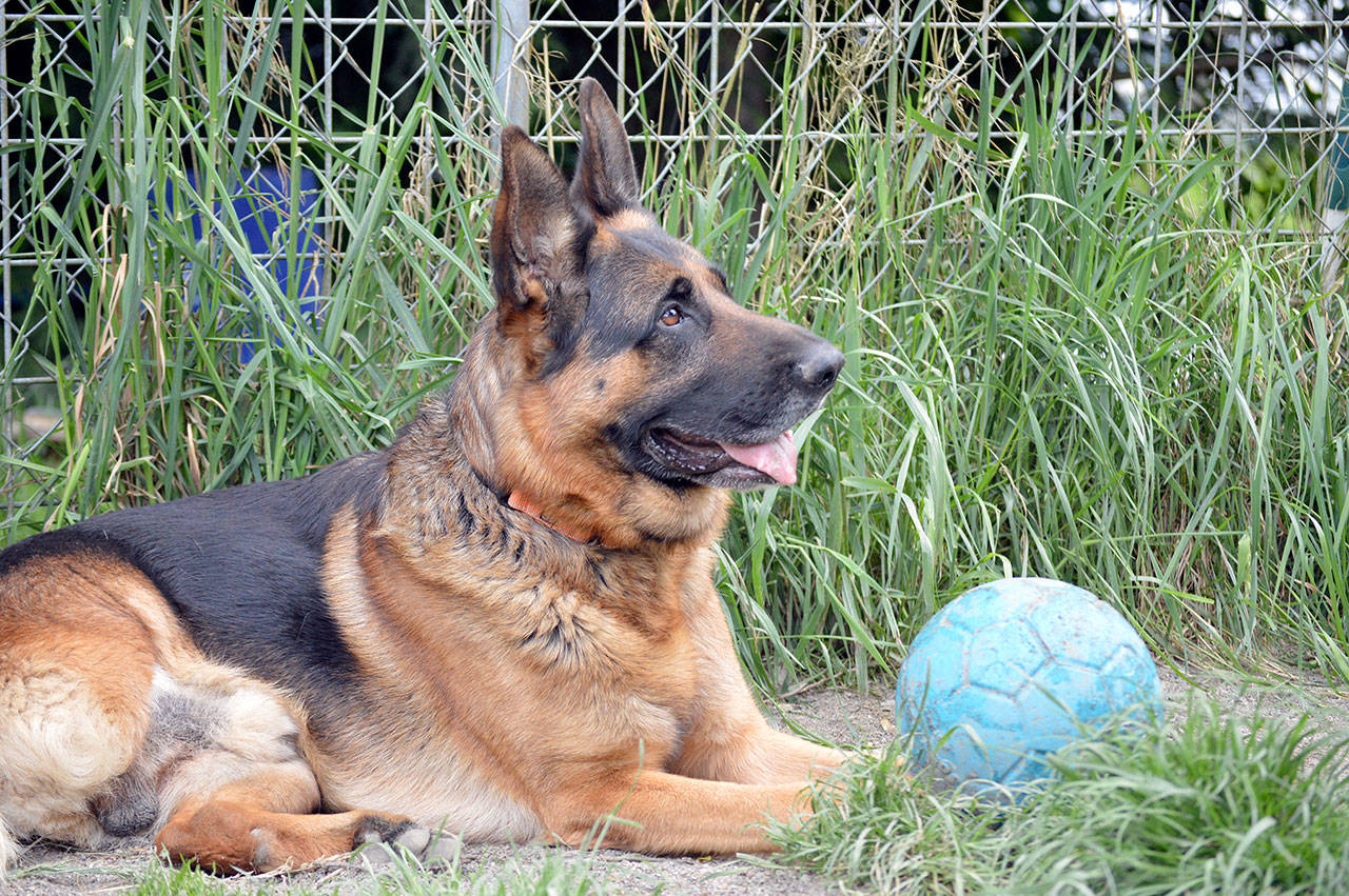 Victor, a three-legged German shepherd, is one of the adoptable pets at Center Valley Animal Rescue. The nonprofit organization will host an online showcase of rehabilitated and adopted animals Saturday evening. (Diane Urbani de la Paz/Peninsula Daily News)