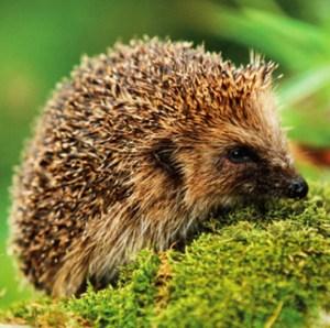 BBT hedgehog R