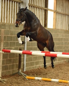 Pennineview Silver Concorde - SHB Stallion Grading 2015 - Free Jump 1