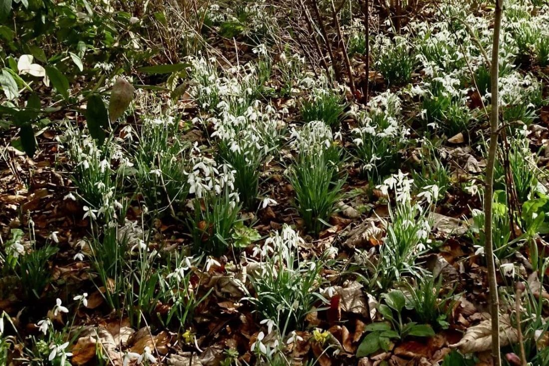 February 2017: Snowdrops in Bright's patch