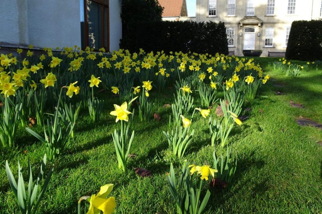 January 2017: Daffodils outside the Garden Room