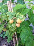 Gule Hindbær