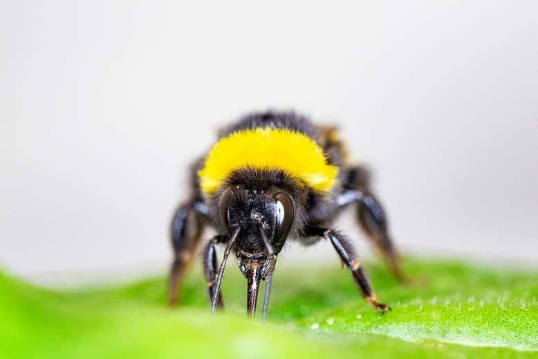 As abelhas famintas fazem as plantas florescerem cedo cortando buracos nas folhas