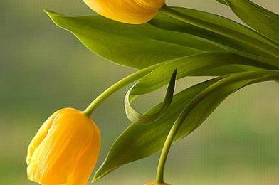 Tulipanes para mi corazón