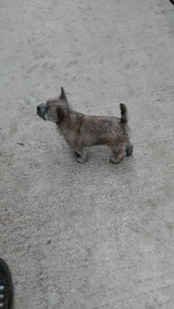 Cairn Terrier Chiot