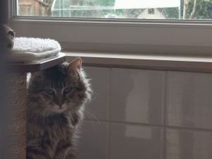 Roxy chat tigré aux poils longs