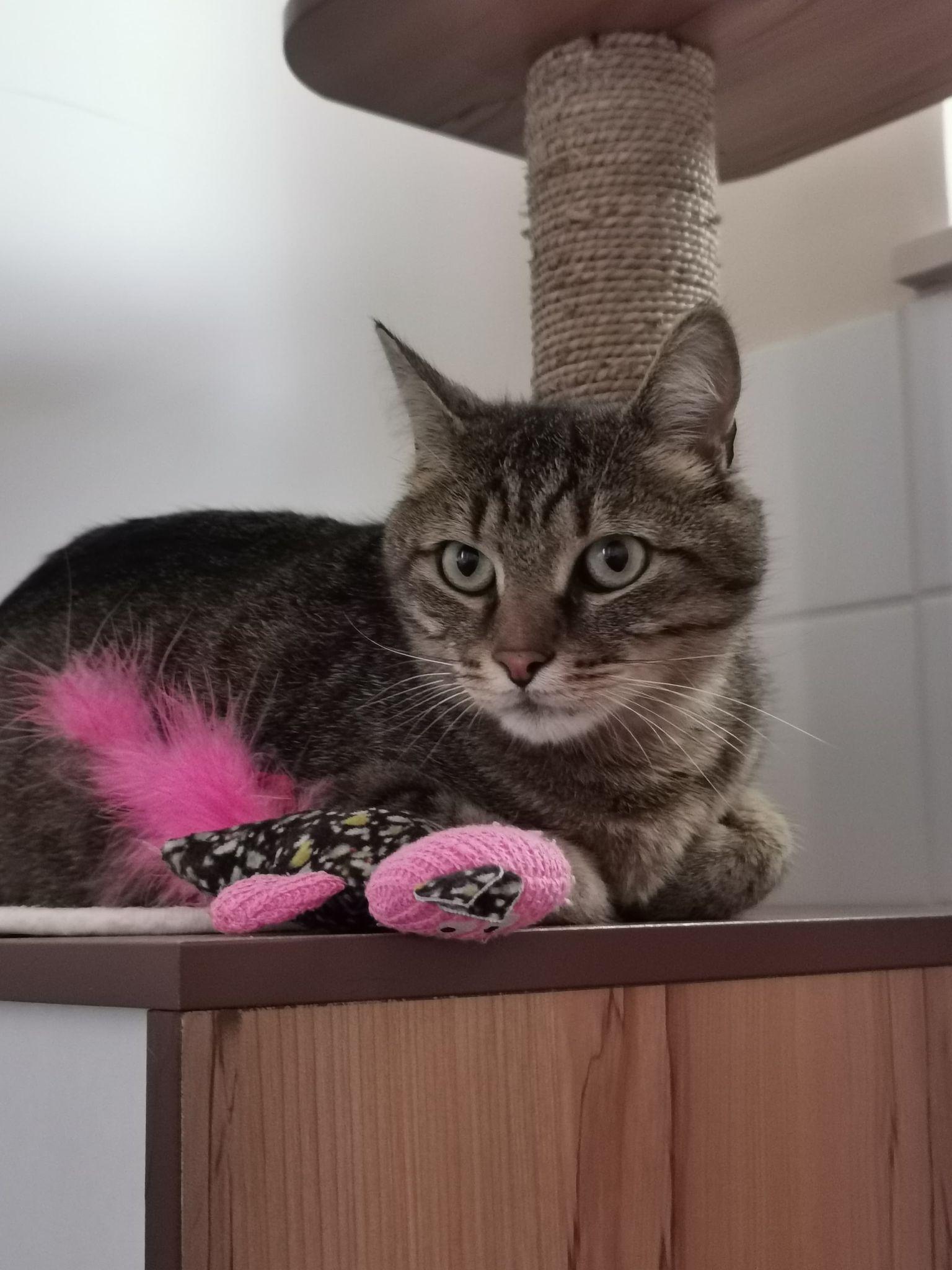 Félix, beau chat européen tigré originaire de St-Caradec