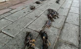 νεκρά πουλιά στη Χαλκίδα