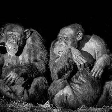 Dugogodišnja prijateljstva su sa godinama sve važnija – i kod šimpanzi