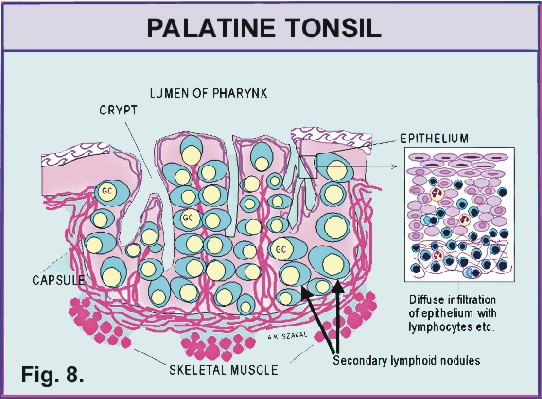 Development of palatine tonsils, tongue and thyroid gland – MistryLand