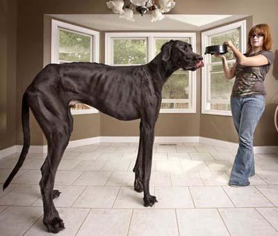 Самая высокая из живущих собак В книгу рекордов Гиннесса 2013 года попала собака Зевс - немецкий дог ростом 1,118 м, который живет со своими хозяевами в Отсего, штат Мичиган, США.