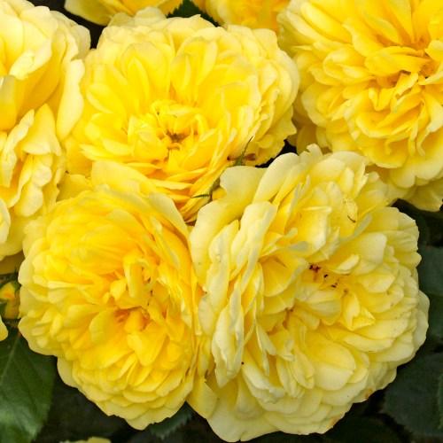 Rosiers Buissons à Fleurs groupées