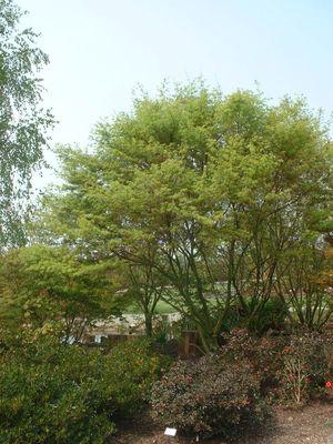 les arbres de petit developpement