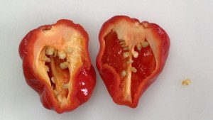 Elysium Oxide Scotch Bonnet cut in half