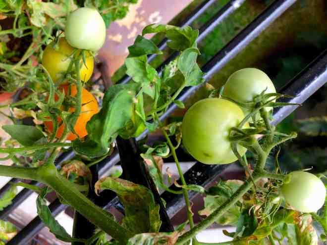Green tomatoes from my little balcony garden